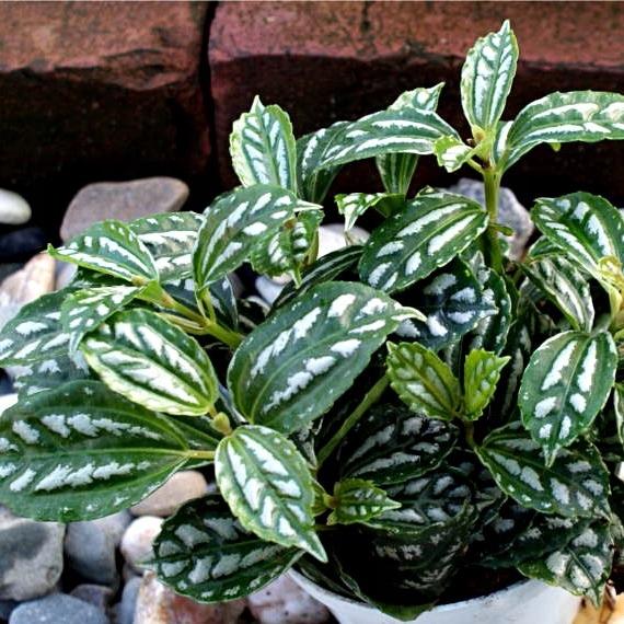 Купить Красивая зелено-серебряная Pilea Cadiera mini d.5,5 см на Otpravka - цены и фото - доставка из Польши и стран Европы в Украину.