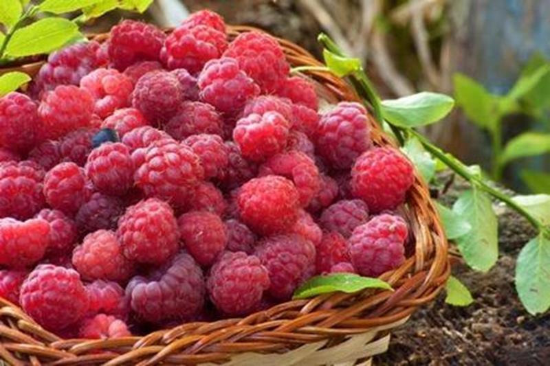 Малина кетоны красная РАННЯЯ вкусная БОЛЬШАЯ фрукты