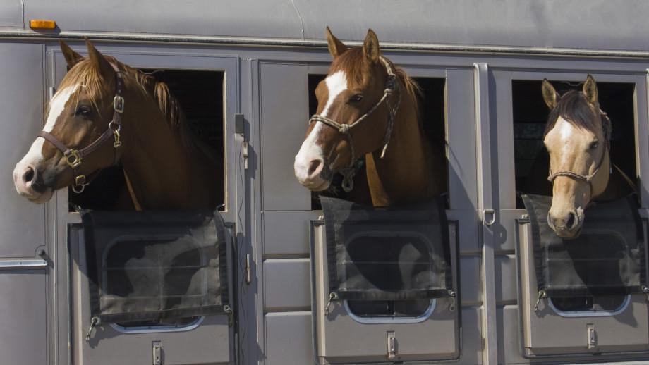Koń w przyczepie, czyli bezpieczny transport zwierzęcia