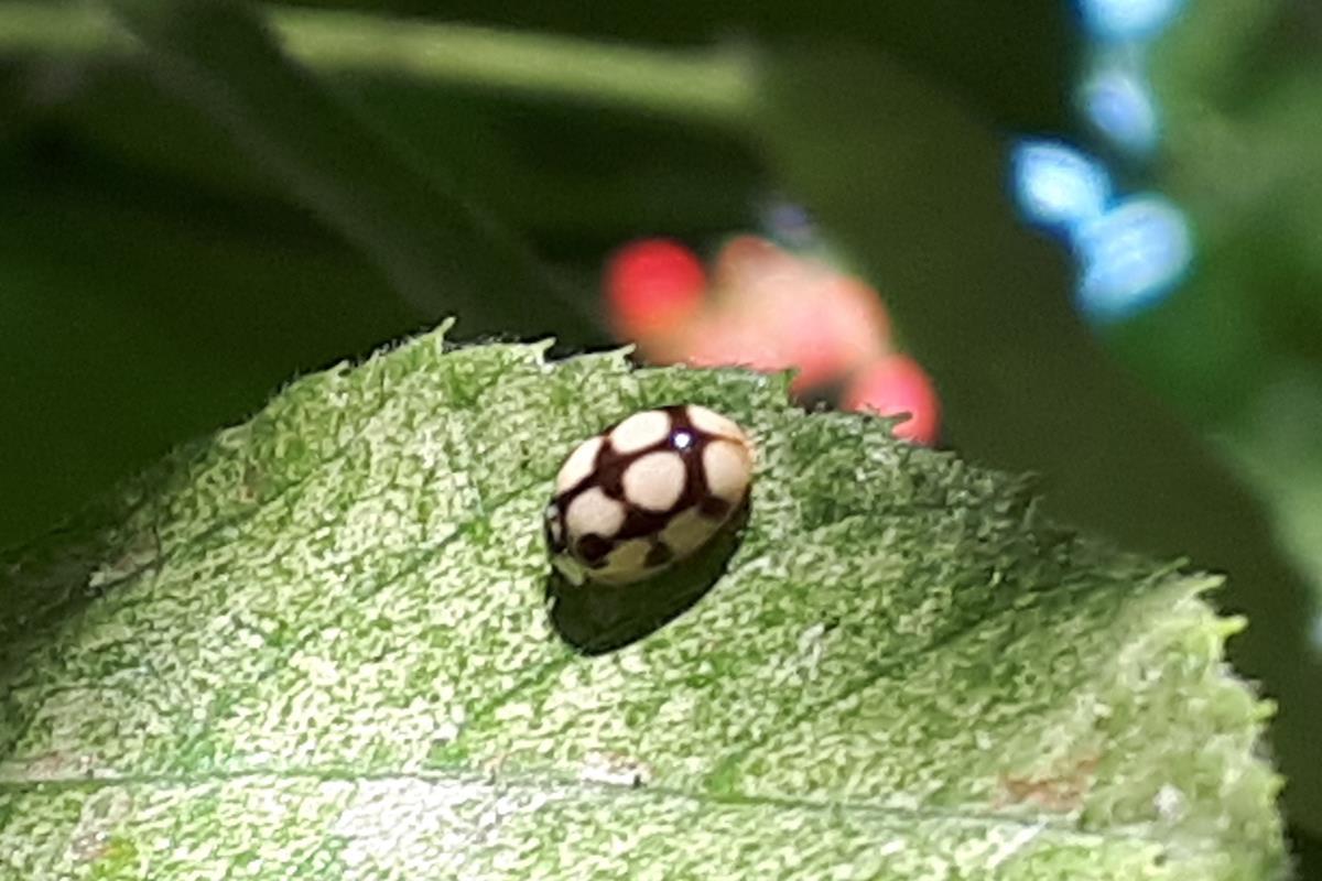 other ladybug