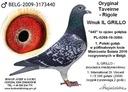 Gołębie pocztowe od Wielokrotnego Mistrza Wiek Zwierzę młode
