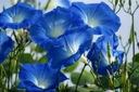 NIEBIAŃSKIE PNĄCZE - Heavenly Blue - Ipomoea CUDO
