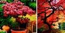 CZERWONY KLON PALMOWY ATROPURPUREUM DUŻE SADZONKI Rodzaj rośliny Klony