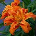 Liliowiec, liliowce KWANZO pełny --- sadzonki