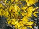 Forsycja Kanarek sadzonka kwiat cięty wiosna