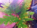 selaginella - piękna niespotykana roślina