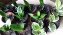 Sansewierie niskie i wysokie oraz peperomie