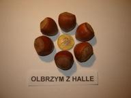 OLBRZYM Z HALLE ORZECH LESZCZYNA 10szt. 80-120 cm