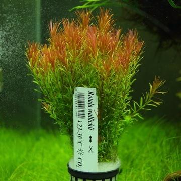 Растения для аквариума Rotala Wales Beautiful XXL