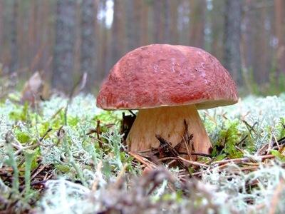 МИЦЕЛИЙ белый ГРИБ СОСНОВЫЙ Грибы белый гриб +